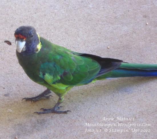 Ringneck Parrot